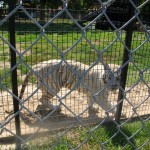 Wordless Wednesday: Playing with Tigers