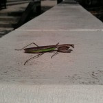 Wordless Wednesday: Mantis