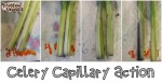 Kids in the Kitchen: Celery by Midnight