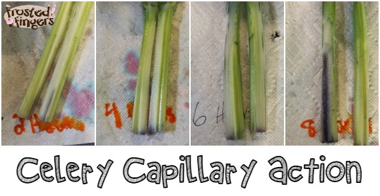 Celery Capillary Action #homeschool #science