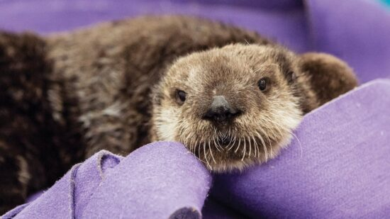 sea otter at Shedd Aquarium in Chicago